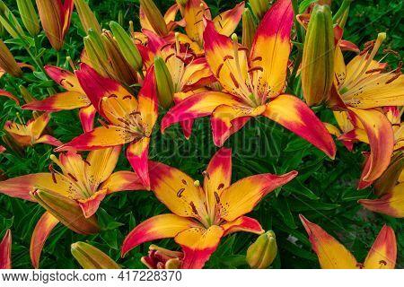 Pink-yellow Daylilies (latin: Hemerocallis) Close Up. Flowers Bed. Soft Focus.