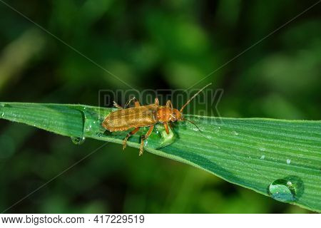 The Common Soldier Beetle (latin: Cantharis Rufa), Is A Species Of Soldier Beetle (cantharidae) On A