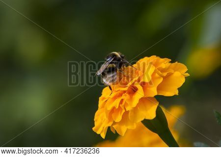 Large Bumblebee On An Orange Flower Tagetes, Close-up, Rear View. Furry Bumblebee On A Calendula Flo
