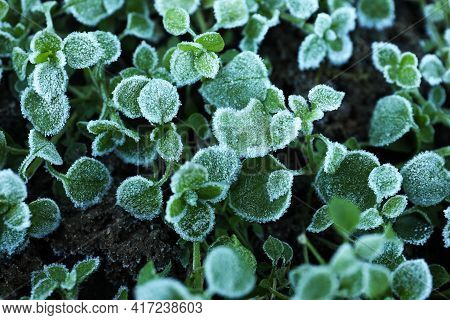 Green Plants Covered With Hoarfrost On Ground, Closeup
