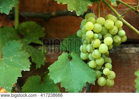Bunch Of Ripening Grapes On Branch In Vineyard