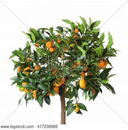 Kumquat Tree With Ripening Fruits Isolated On White