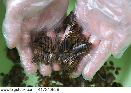 Man Is Holding Many Argentine Cockroaches In Hands, He Is In Gloves, Closeup View. Pets And Breeding