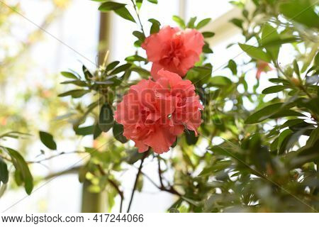 Rhododendron Bunde Schame Or Azalea Indica Flower