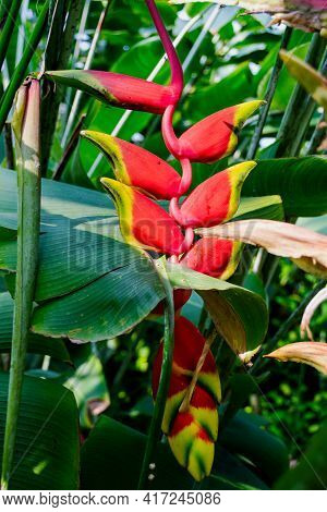 Heliconia Rostrata Flower, Or Hanging Lobster Claw, Close View In Tropical Garden, Image For Backgro