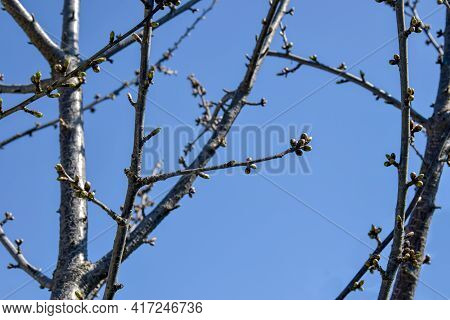 Cherry Branches With Many Swollen Buds Against Blue Sky. Fruit Trees In Orchard  In Early Spring. Be