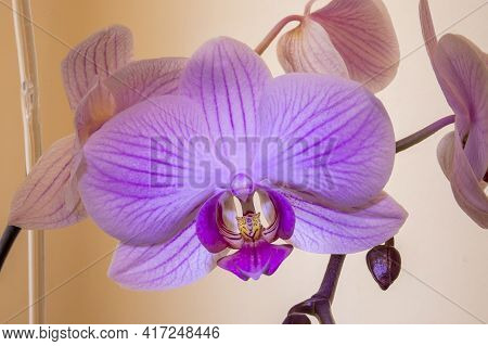 Pink Phalaenopsis.pink Phalaenopsis Or Moth Dendrobium Orchid Flower . Magenta Orchids Isolated On B
