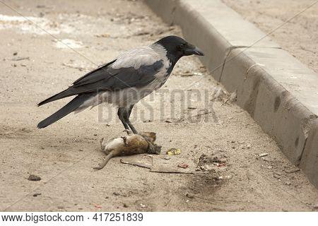 Gray Crow Eats Dead Gray Rat. Bird And Rodent. Corvus Corone Cornix And Rattus Norvegicus. Urban Sce