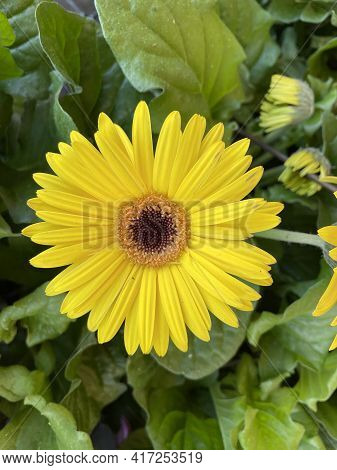 A Yellow Daisy And Green Foliage In The Spring In Georgia Close Up