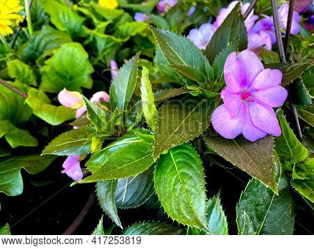 Soft Purple Flower With Green Foliage In The Spring Pink Accent Leaves