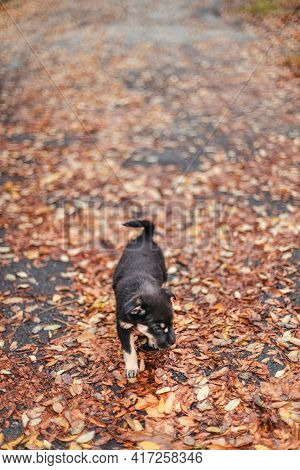 Cute Puppy Dog Walks In The Autumn Park. Wet Leaves After Rain In The Forest