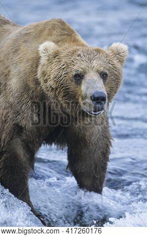 Big Brown Bear. Dangerous Animal In Nature. Bear With Cubs In Canadian Arctic