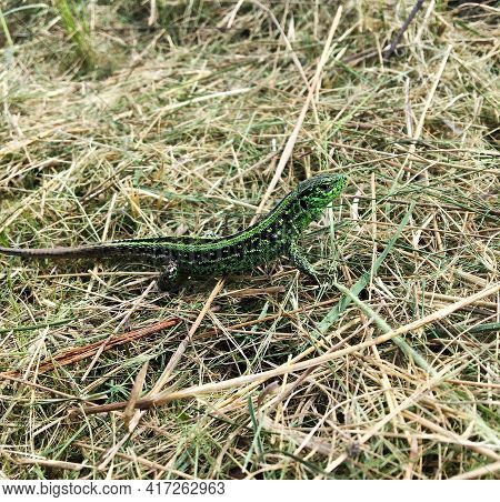 Photography On Theme Beautiful Green Scales To Body Lizard Sitting In Dry Grass. Photo Consisting Of