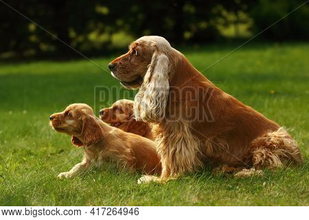 Amazing, Newborn And Cute Red English Cocker Spaniel Puppies With Her Mother. Red English Cocker Spa