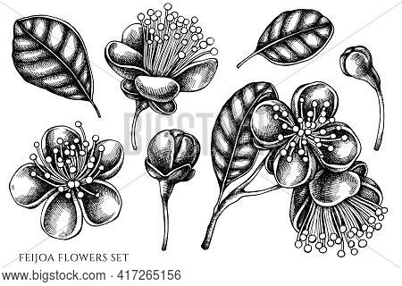 Vector Set Of Hand Drawn Black And White Feijoa Flowers Stock Illustration