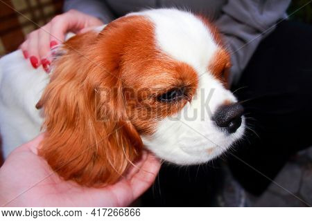 A Beautiful And Cute Dog Of The Cavalier King Charles Spaniel Breed