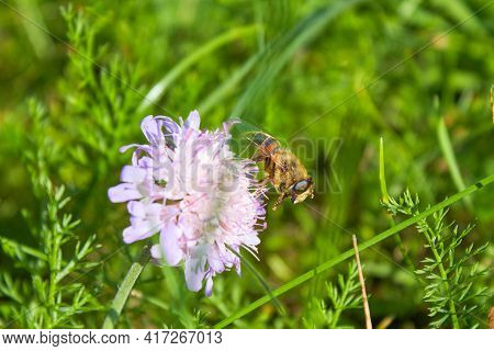 The Honey Bee Apis Mellifera Collects Pollen For Honey From The Flower. Bee Close-up