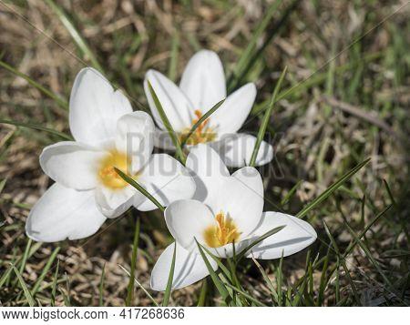 Three Close Up Macro Pure White Crocus Vernus. Spring Flower On Green Leaves Bokeh Background, Selec