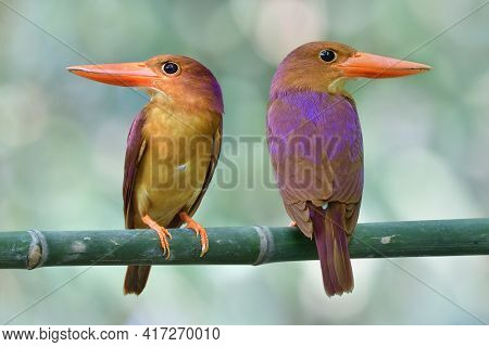 Fascinated Large Red Beaks Birds On Perch Showing Both Front And Back View Of Purple Shade, Ruddy Ki
