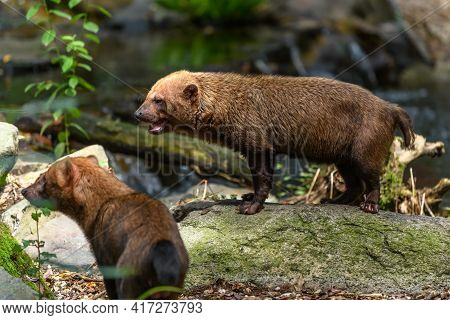 Captive Bush Dog At The Sables Zoo In Sables D'olonne.