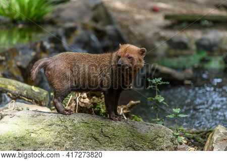 Captive Bush Dog At The Sables Zoo In Sables D'olonne In France.
