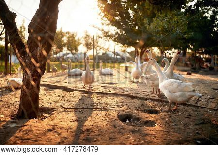 Geese in a coop in a farm on a beautiful sunny weather. Farm, countryside, summer