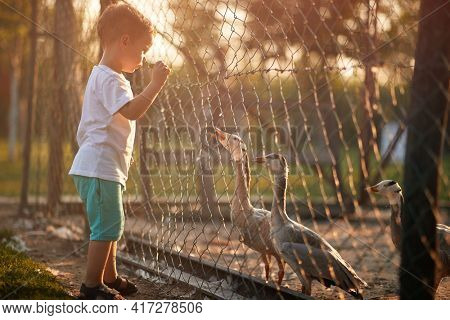 A little boy looking at ducks in the coop through the fence on a beautiful sunny weather. Farm, countryside, summer