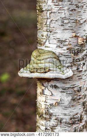 Tinder Fungus On A Birch. Birch Tinder Fungus On A Tree Trunk. The Fungus Is A Parasite. Close-up.