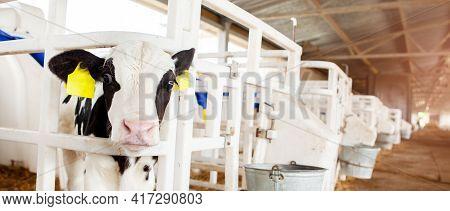 A Cute Black And White Calf In A Calf Barn At A Dairy Farm, Peeking Out Of An Enclosure. Milk Produc