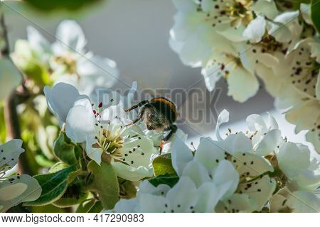 Branch With Many Apple Blossoms In Spring. Bumblebee Insect Back On A Blossom Of The Fruit Tree In S