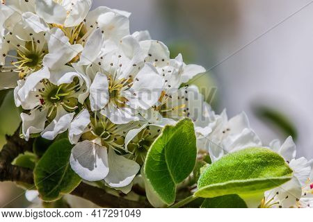 Details Of Apple Blossoms From A Fruit Tree. White Blossoms From The Apple Tree In Spring Sunshine.