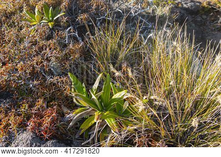 Alpine Vegetation Mountain Daisy Plant Surrounded By Tussock And Other Typical Flora Along Trail On
