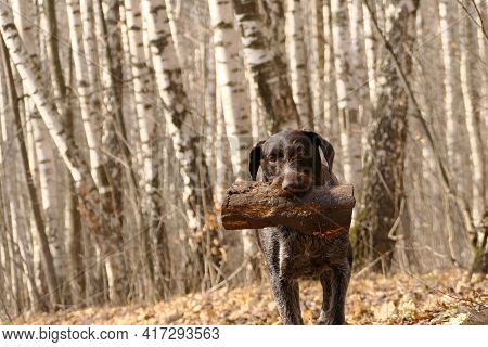 German Dog, Hunting Walks In The Woods In The Spring, Plays With A Log. High Quality Photo