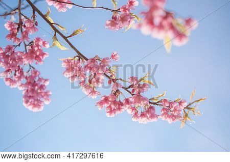 Pink Blossoms On The Branch With Blue Sky During Spring Blooming Branch With Pink Sakura Blossoms An