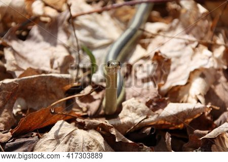 Garter Snake On Forest Floor Blending In With Leaves