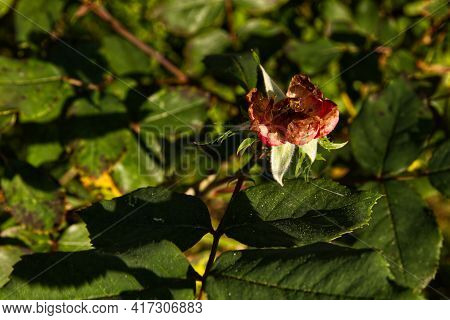 A Red Wilted Rose And Green Spring Foliage In Rural Georgia