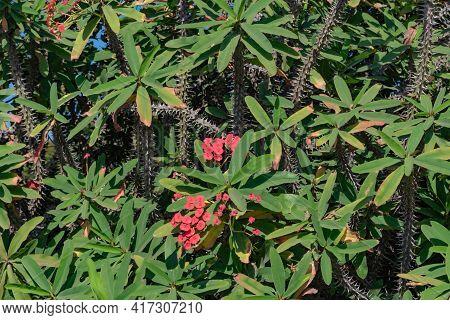 Euphorbia Milii Plants Used As A Hedge