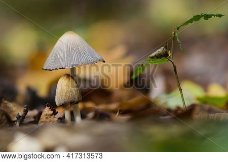 Small Forest Mushrooms In Dry Autumn Leaves. Forest Mushroom In Dry Grass. Two Mushrooms, Natural Au