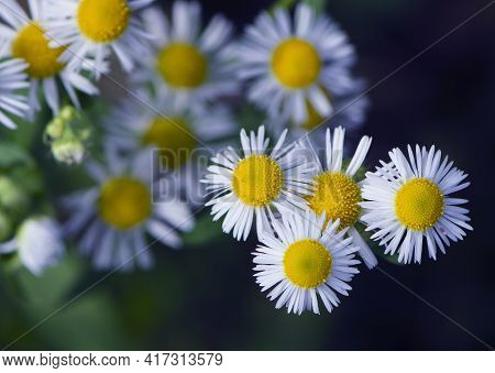 White Field Chamomile. White And Yellow Flower Heads Of Chamomile Flowers, Top View Close Up. Natura