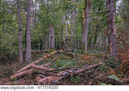 Autumnal Mixed Primeval Stand With Old Spruce Trees  In Background, Bialowieza Forest, Poland, Europ