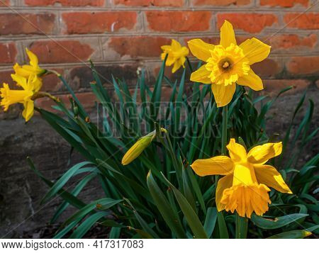 Blooming Flowers Of Yellow Daffodils With Green Leaves. Blooming Flowers. Yellow Daffodil. Plant Pet