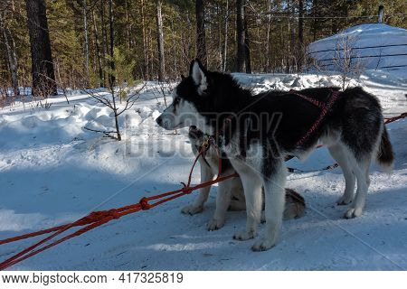 A Pair Of Siberian Huskies Are Harnessed, Standing On A Snow-covered Road. The Red Harness Is Taut.