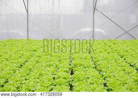 Hydroponic Of Lettuce Farm Growing In Greenhouse.