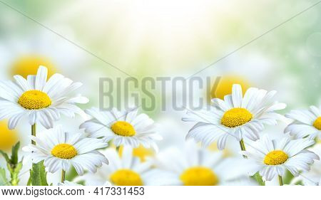 Beautiful Chamomile Flowers In The Meadow. Spring Meadow With Sunny Flowers In Spring Or Summer. Nat