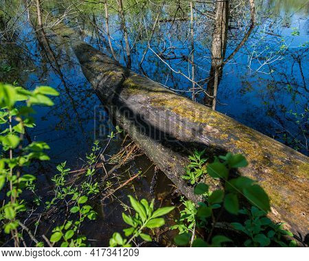Tree Trunk Felled By A Storm Falls Into A River In A Deciduous Forest On A Sunny Day. Early Spring,