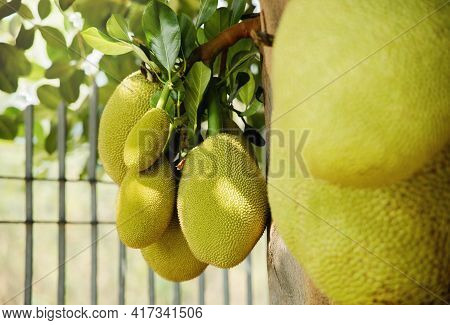 Young Jackfruit, Jack Tree. Tropical Fruit And Commonly Used In South And Southeast Asian Cuisines.