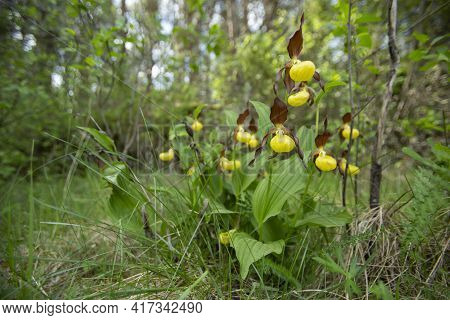 Rare wildflower- lady\'s-slipper orchid (Cypripedium calceolus) blooming in its habitat in Estonian nature during springtime