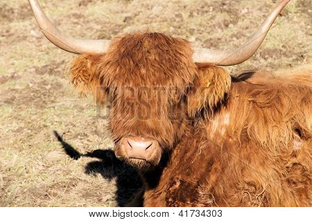 Head of a Scottish Highland