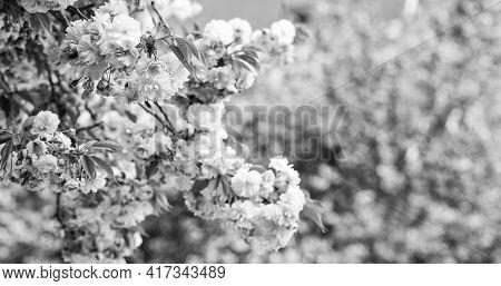 Spring Depression. Sakura Blooming Tree., Natural Floral Background. Beautiful Spring Flower. Pink C