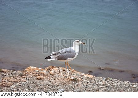 Seagull Standing By The Sea On A Cliff